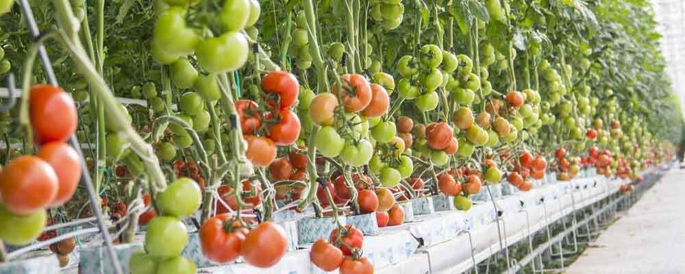 Hydroponik Tomaten sichtbare Vorteile